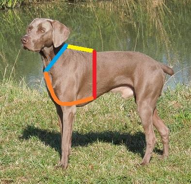 Hundegeschirre richtig messen